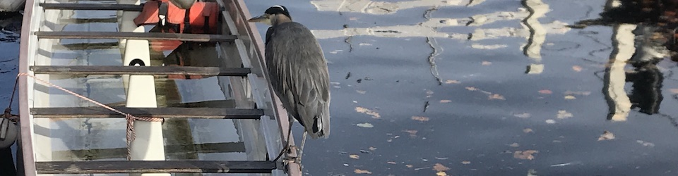 Heron Looking for a Free Ride
