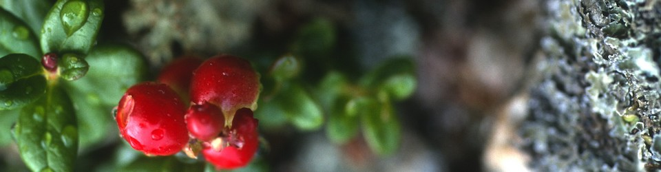 Juicy Berries with Morning Dew