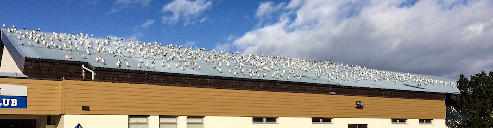 Warm Curling Rink Roof Covered with Gulls