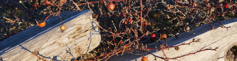 Winter Rosehips Rathtrevor